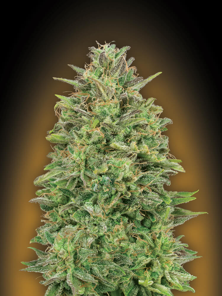 00 Skunk Feminised Seeds