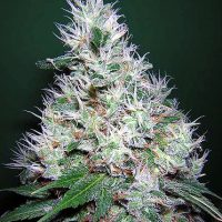 Bubble Gum Regular Seeds