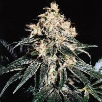 Devil Regular Seeds - 18
