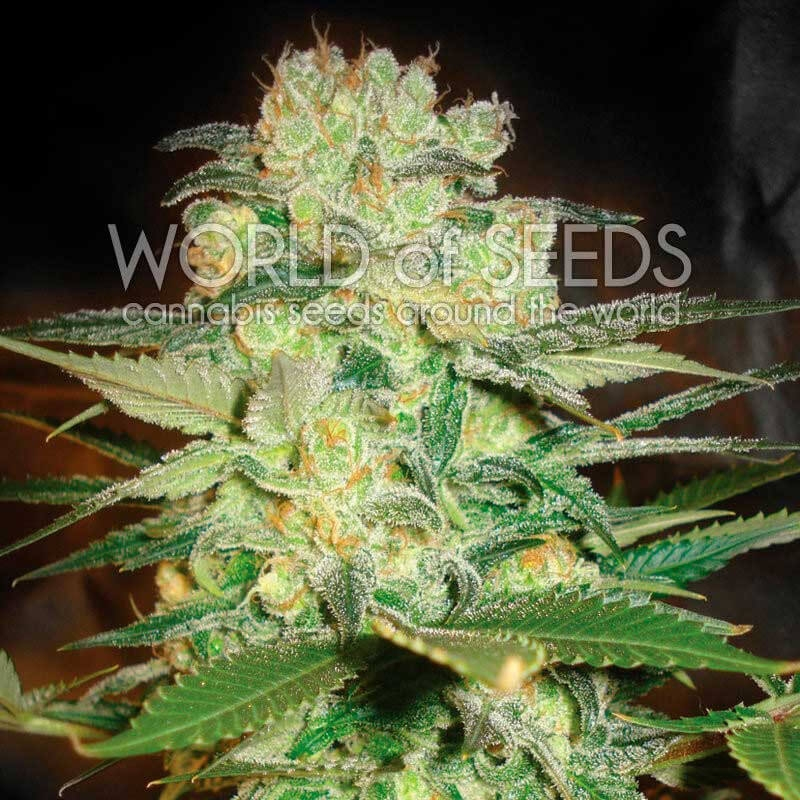 Afghan Kush x White Widow Feminised Seeds