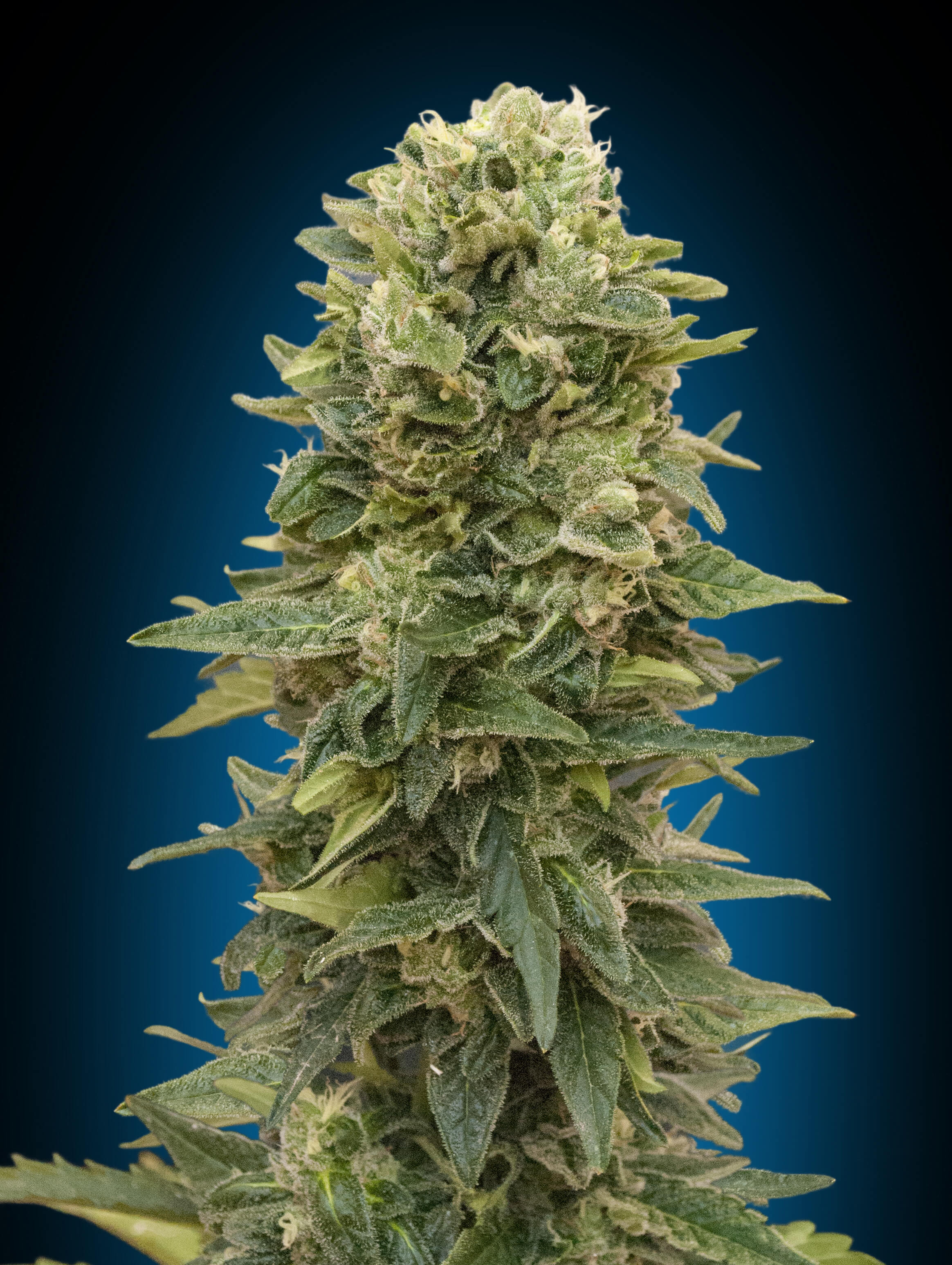 Afghan Mass Auto Feminised Seeds