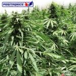 Afghan Express Autoflowering Feminised Seeds