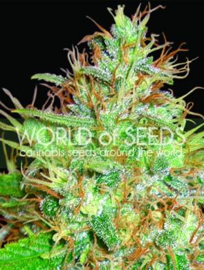 Afghan Kush x Skunk Feminised Seeds