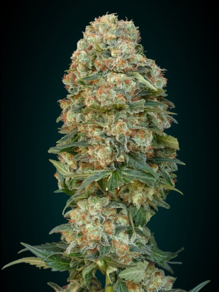 Afghan Skunk Feminised Seeds