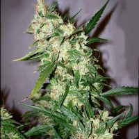ASH Regular Seeds - 18