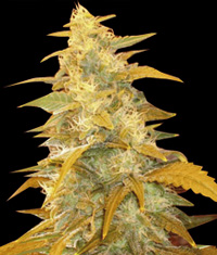 Afghan Kush Regular Seeds