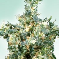 American Dream Regular Seeds