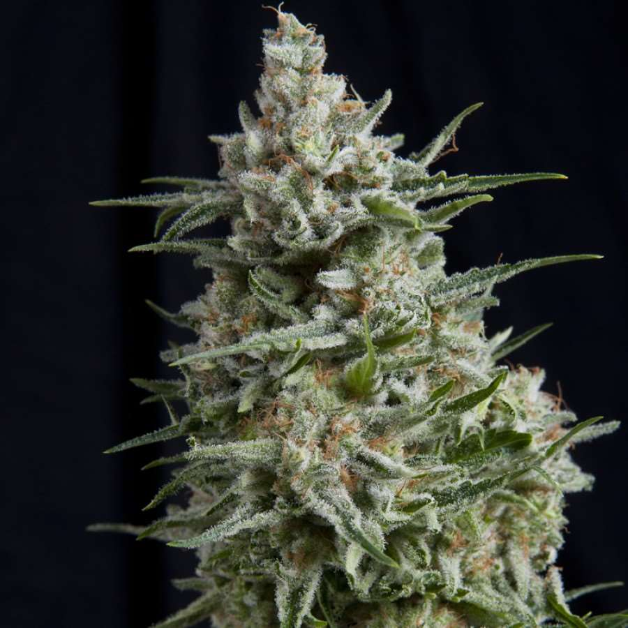 Anesthesia Feminised Seeds