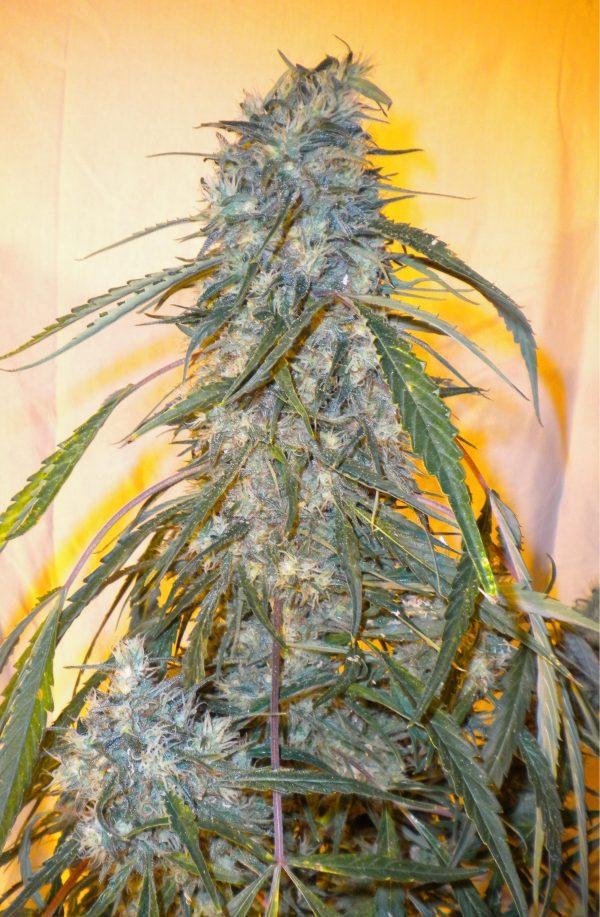 Annapurna Autoflowering Feminised Seeds - 3