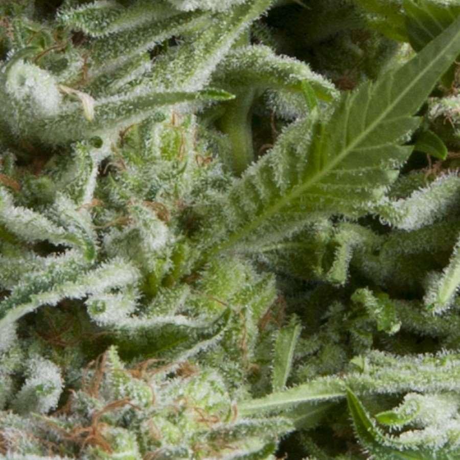 Alpujarrena Auto Feminised Seeds