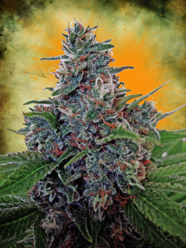 Blue Amnesia Auto Feminised Seeds