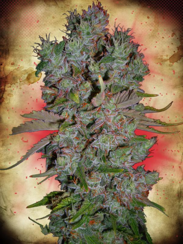 Blueberry Domina Auto Feminised Seeds