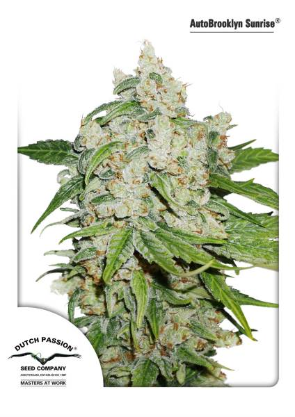 Brooklyn Sunrise Auto Feminised Seeds