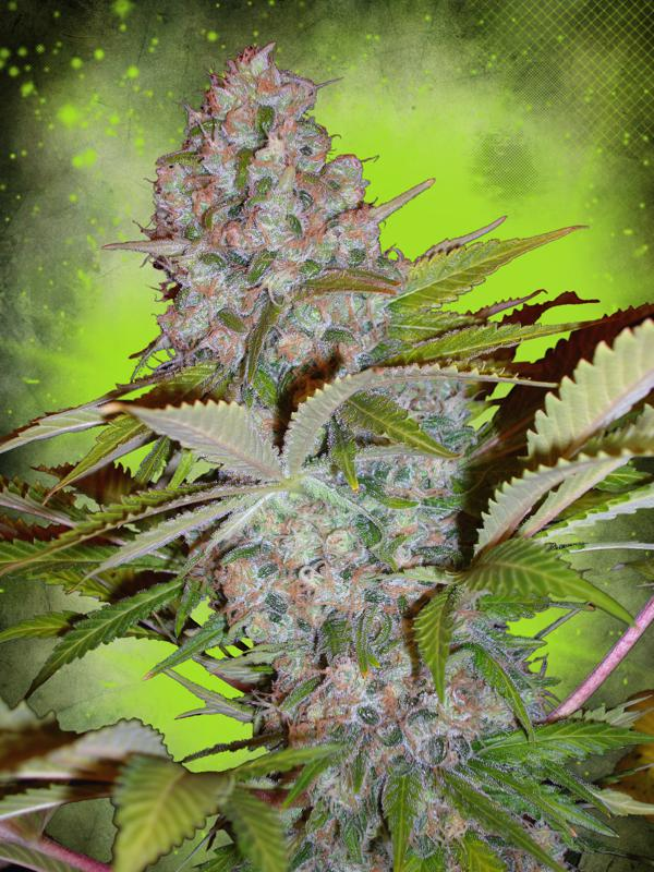 Cheese NL Auto Feminised Seeds