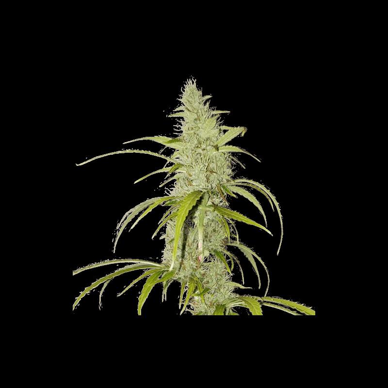 Creeper Auto Feminised Seeds - 8