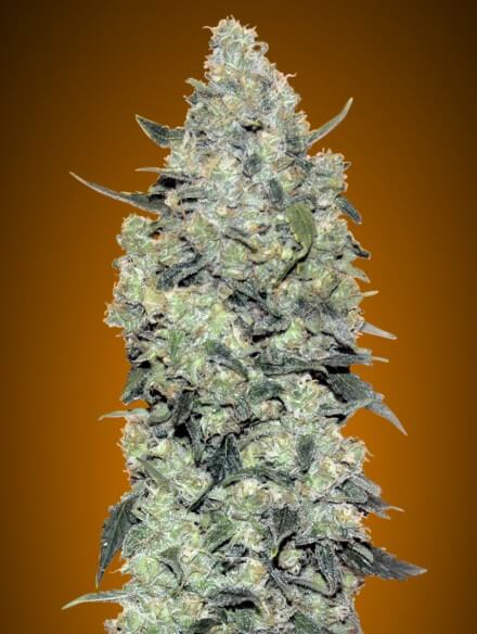 Critical Mass Auto Feminised Seeds