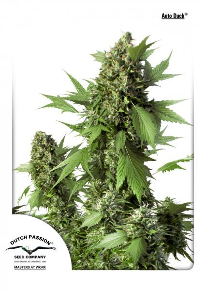 Duck Auto Feminised Seeds