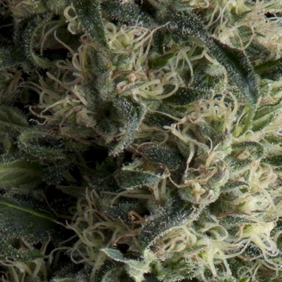Galaxy Auto Feminised Seeds
