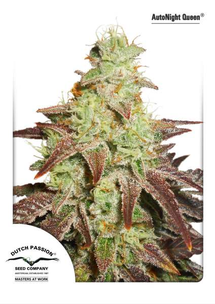 Night Queen Auto Feminised Seeds