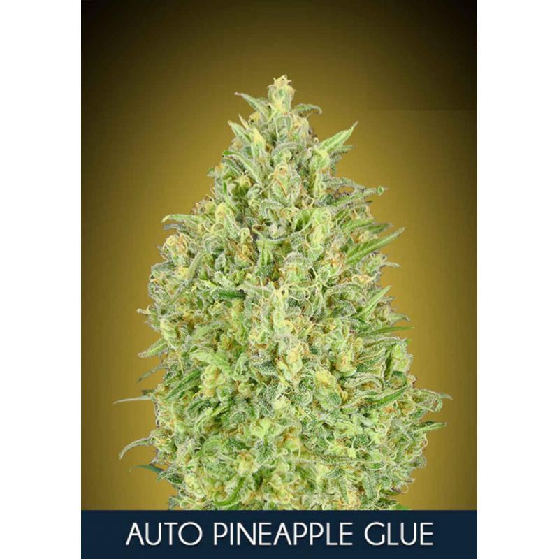 Pineapple Glue Auto Feminised Seeds