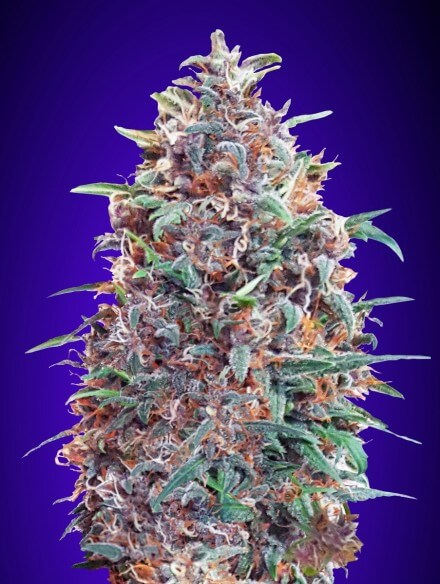 Purple Diesel Auto Feminised Seeds