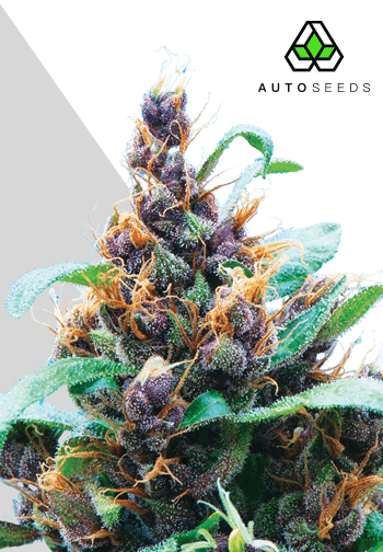 Purple Stilton Auto Feminised Seeds