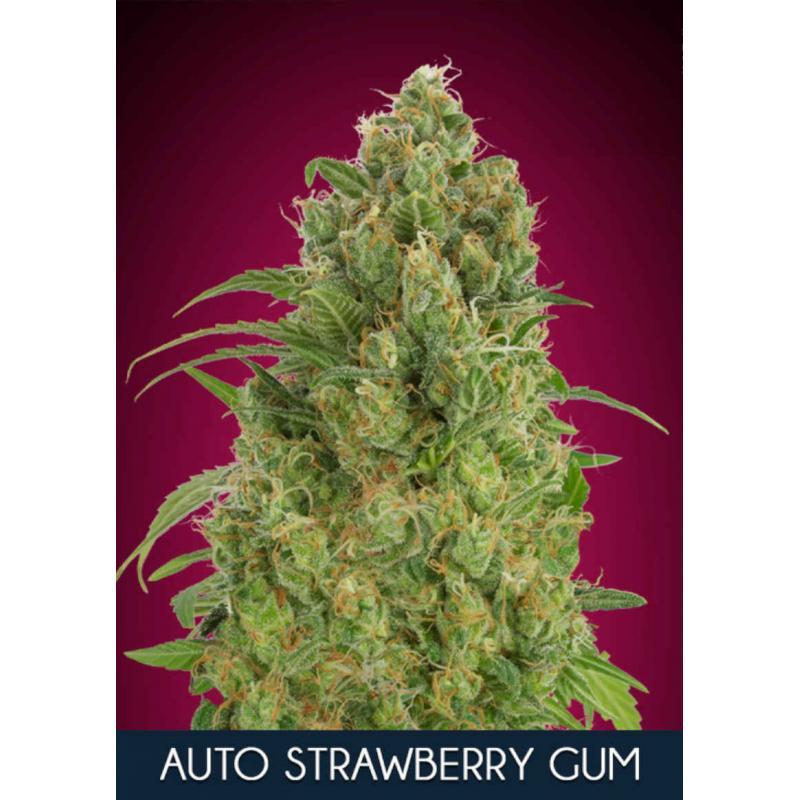 Strawberry Gum Auto Feminised Seeds