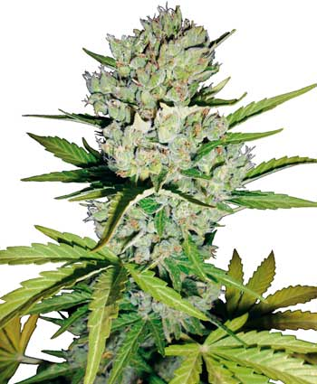 Super Skunk Auto Feminised Seeds