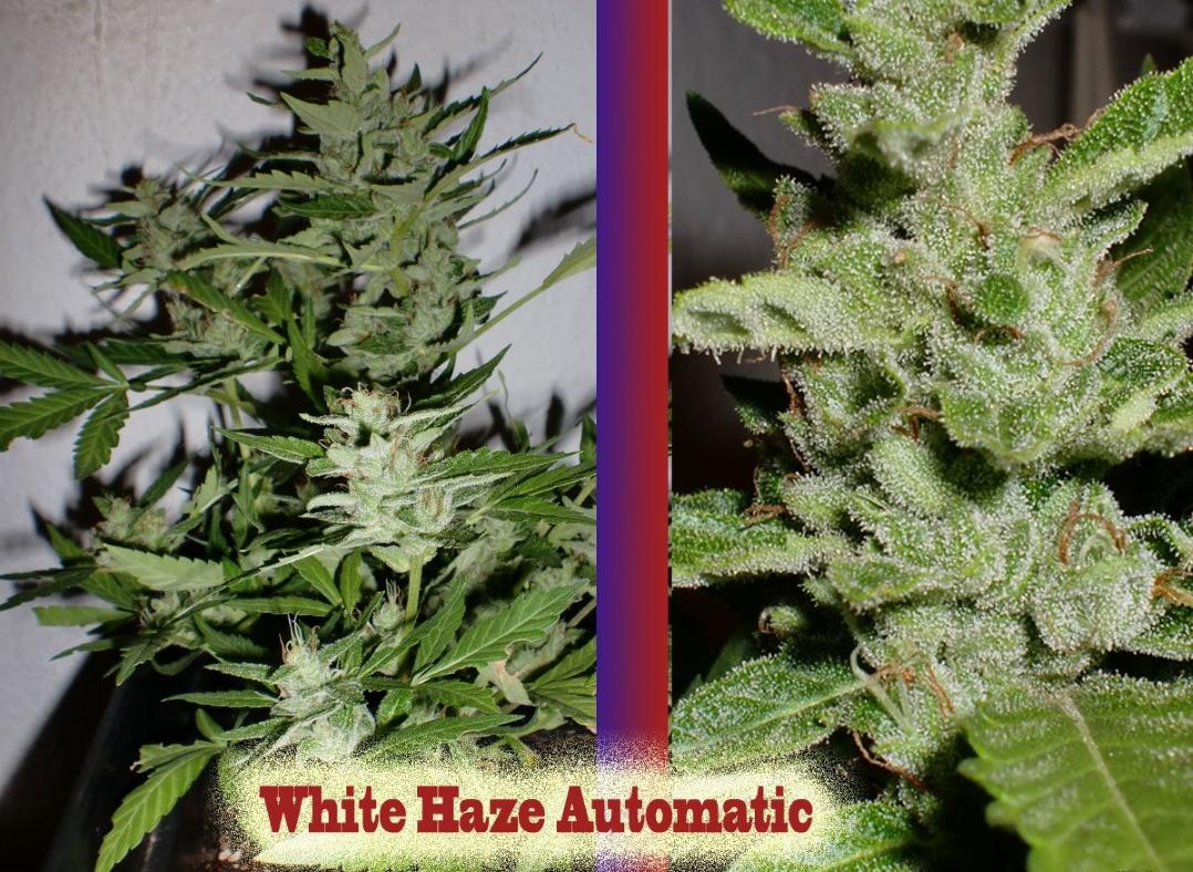 White Haze Auto Feminised Seeds