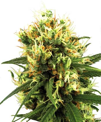 White Haze Auto Feminised Seeds
