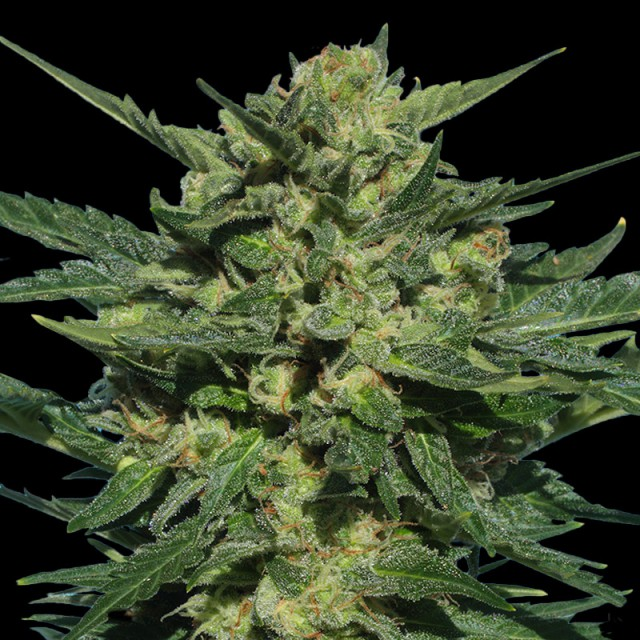White Russian Auto Feminised Seeds - 6