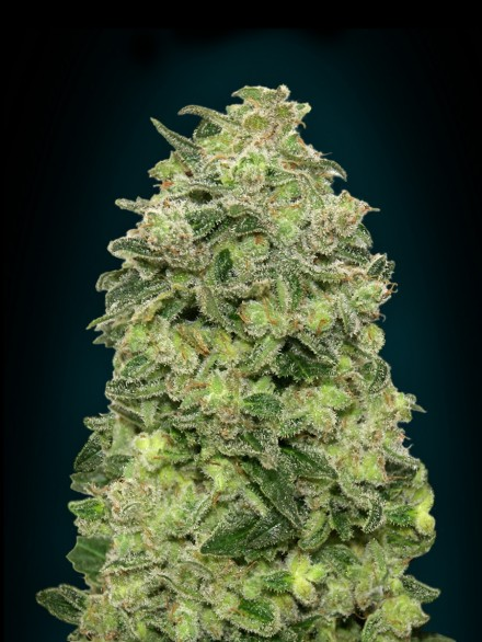 Afghan Skunk Auto Feminised Seeds