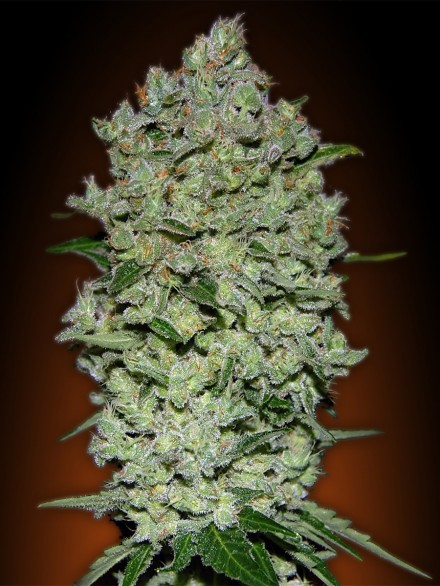 Biodiesel Mass Auto Feminised Seeds