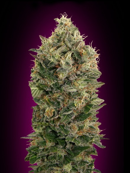 Black Diesel Auto Feminised Seeds