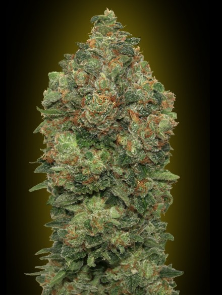 Critical Soma Auto Feminised Seeds