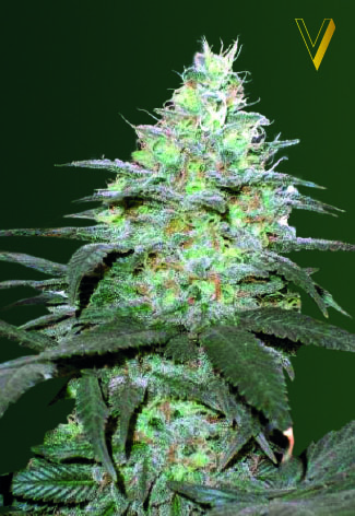 Original Berry Auto Feminised Seeds