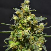 Shellshock Auto Feminised Seeds