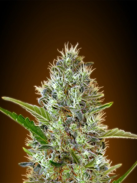 Somango Auto Feminised Seeds