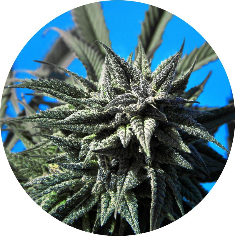 Tao Blueberry Auto Regular Seeds - 5