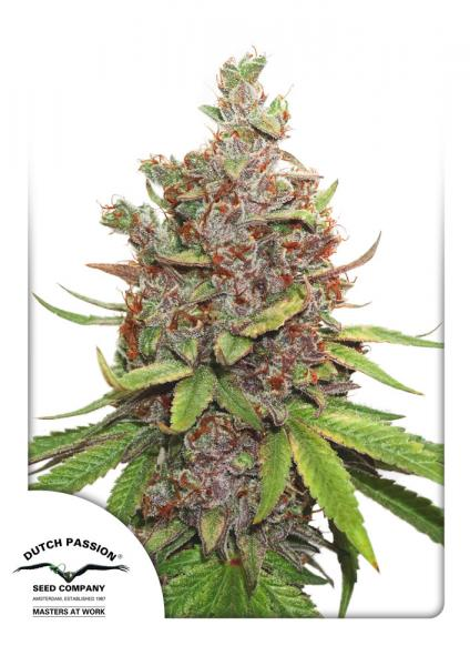 Glueberry O.G. Auto Feminised Seeds