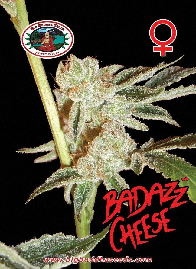 Badazz Cheese Feminised Seeds