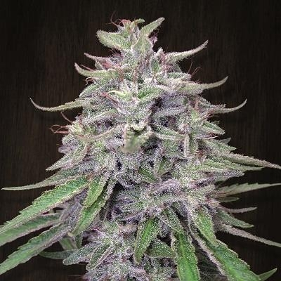 Bangi Haze Regular Seeds