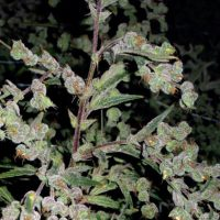 Dr Grinspoon Feminised Seeds