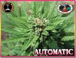 Auto Feminised Seeds