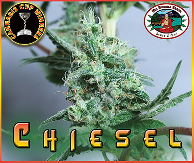 Chiesel Feminised Seeds