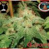 G - Bomb Feminised Seeds
