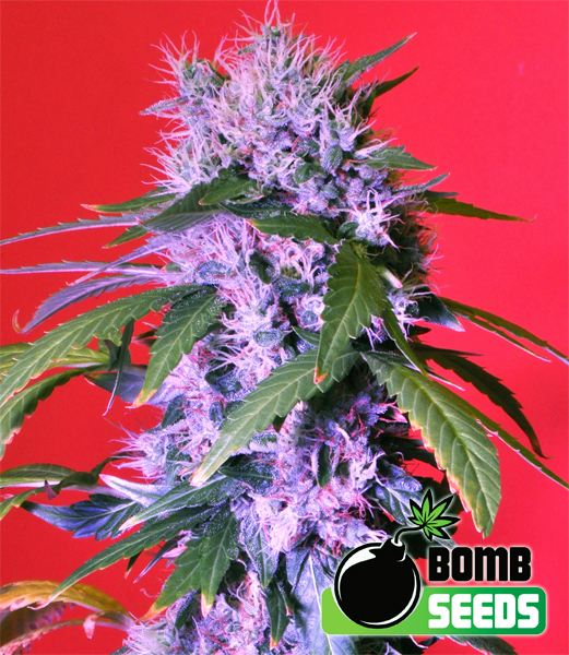 Berry Bomb Auto Feminised Seeds