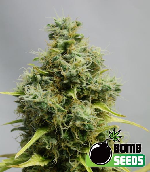 Big Bomb Feminised Seeds
