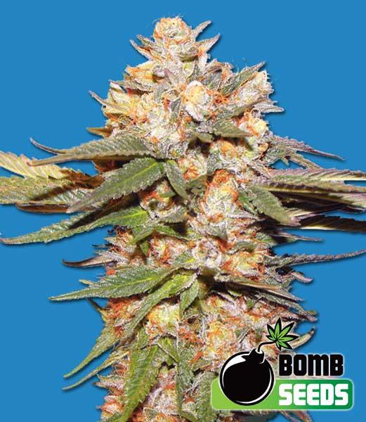 Big Bomb Auto Feminised Seeds