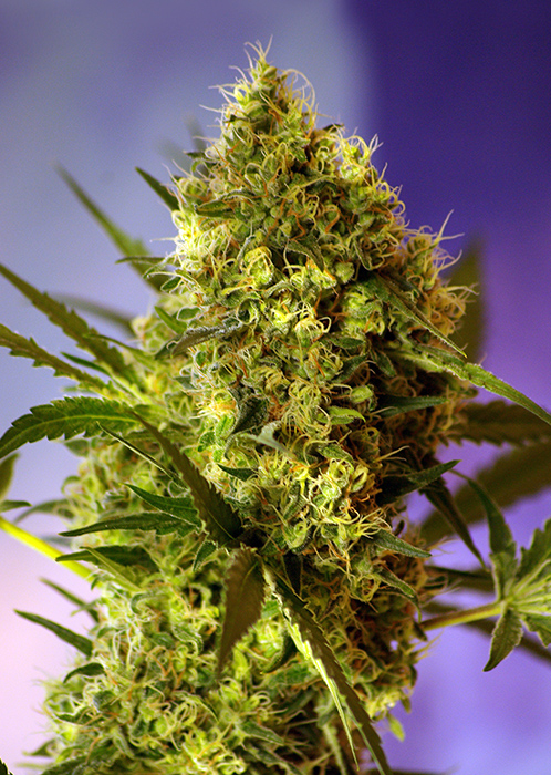 Big Devil Auto Feminised Seeds